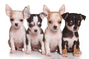 Chihuahua Breed Information