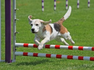 Agility Training Dog